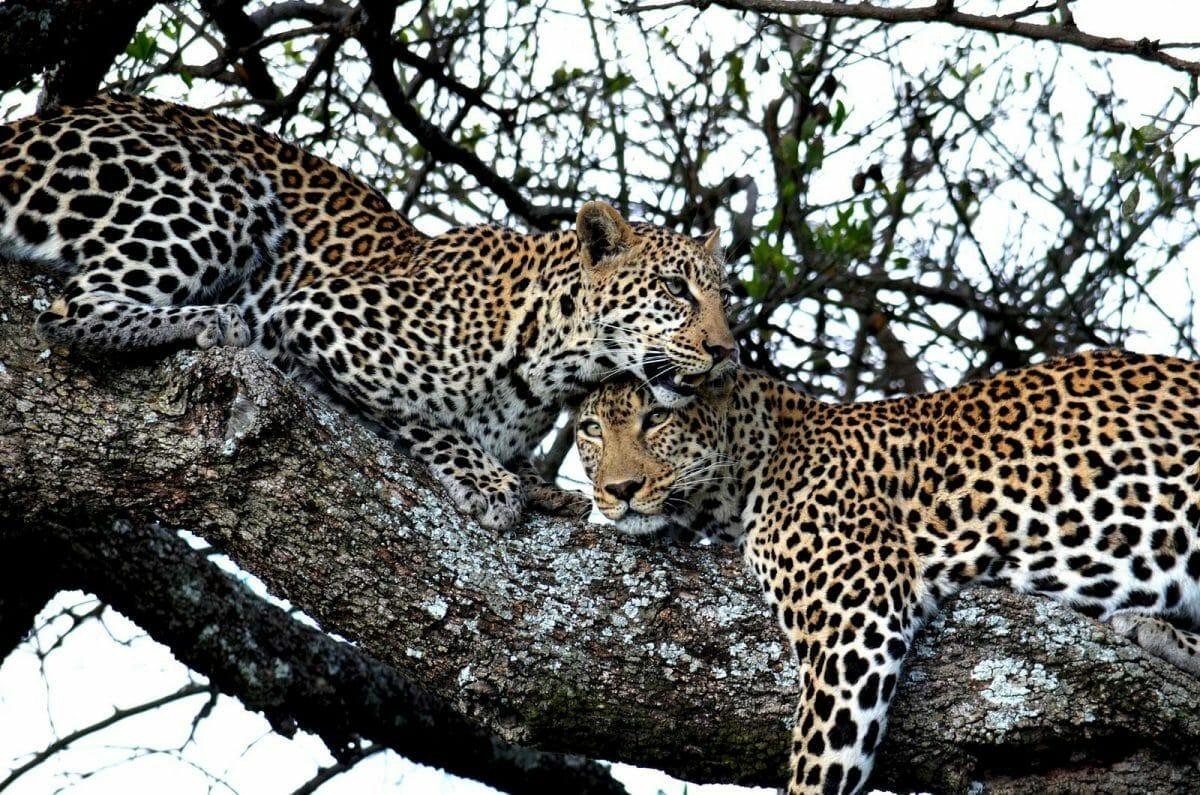 Leoparden Tansania Safari mit Klüger Reisen