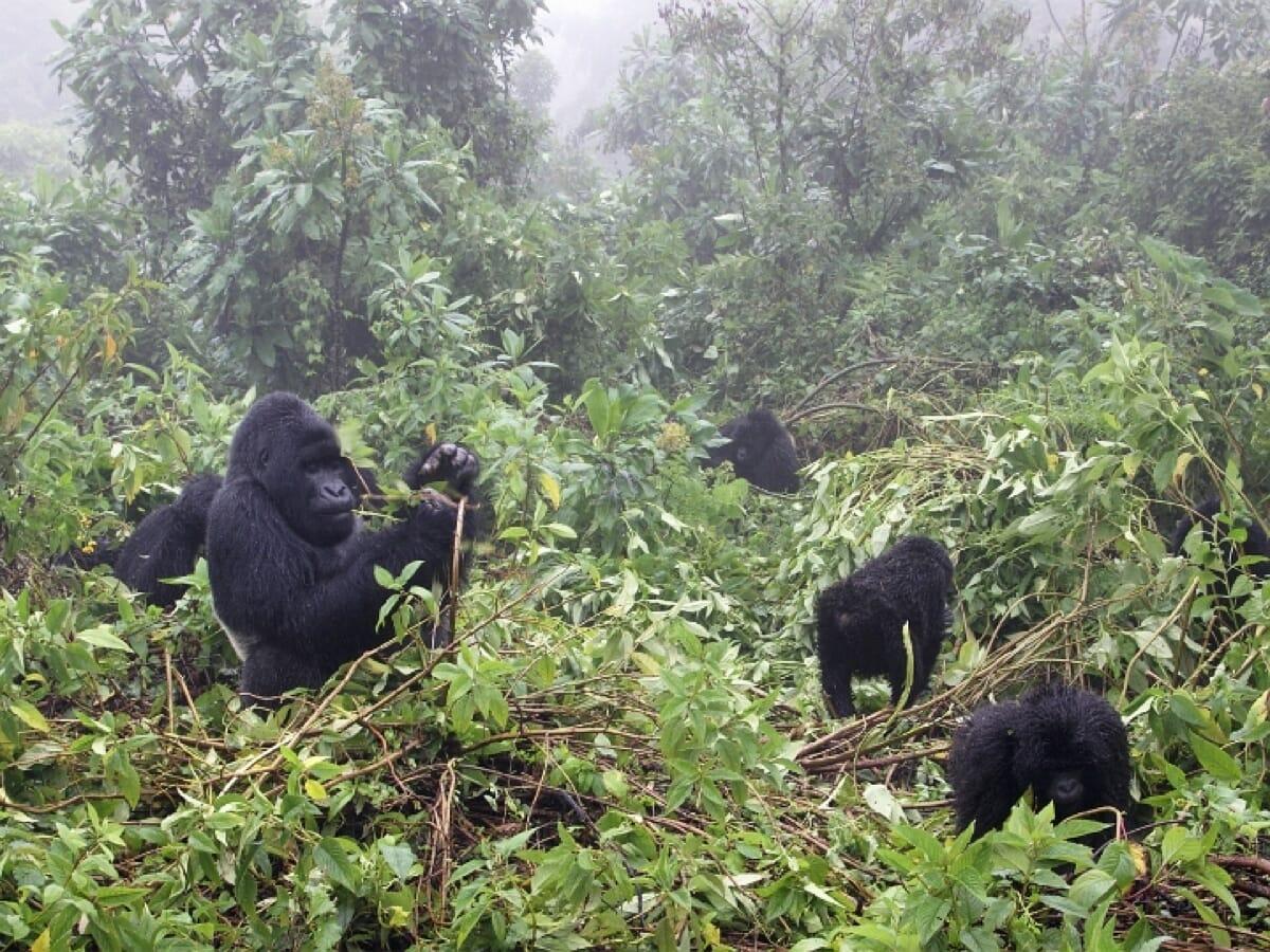 Kongo DRC: Berggorillas im Virunga Nationalpark