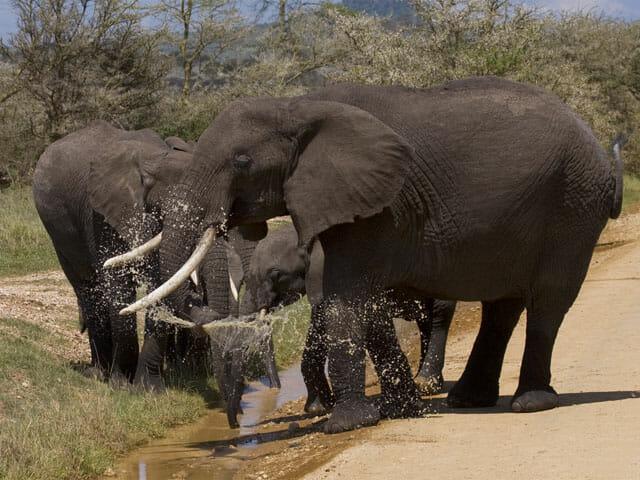 Tansania Elefanten Safari mit Klüger Reisen