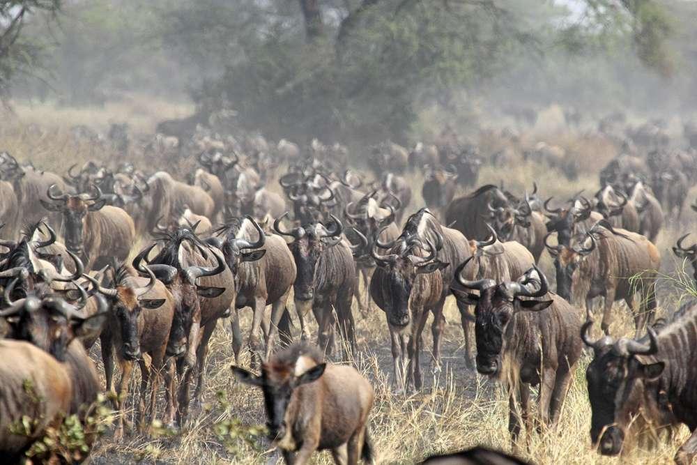Tansania Migration Gnuherde mit Klüger Reisen