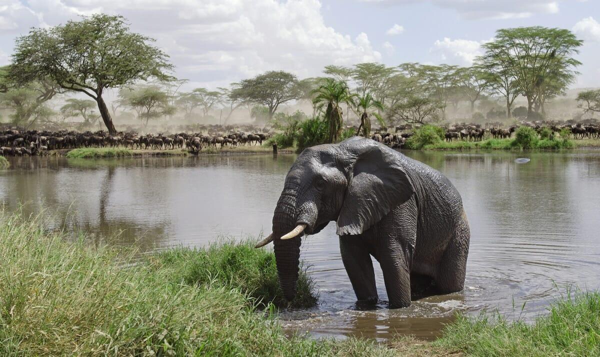 Serengeti Elefant bei Safari mit Klüger Reisen