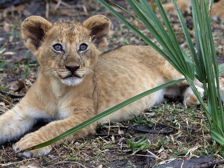 Filhote leão, ligado, safari, com Klüger Viajar