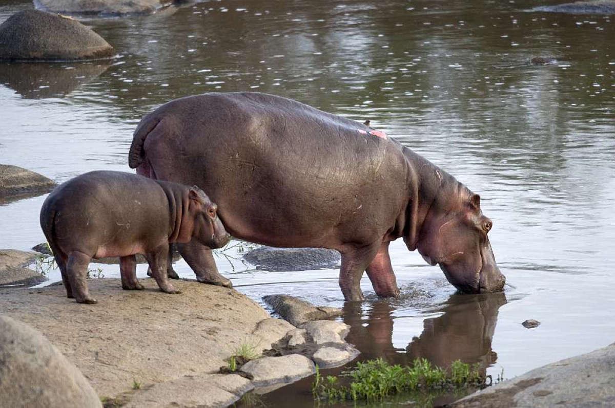Hippos Tansania Safari mit Klüger Reisen