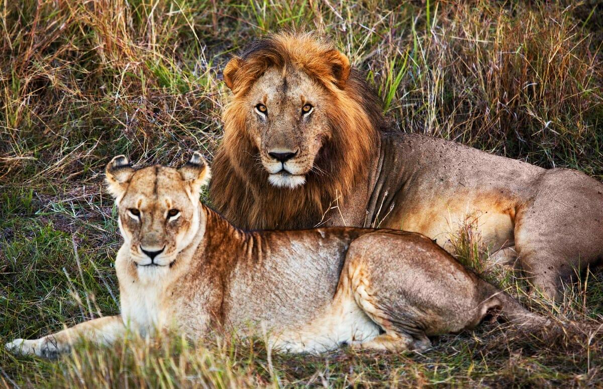 Löwen Safari mit Klüger Reisen