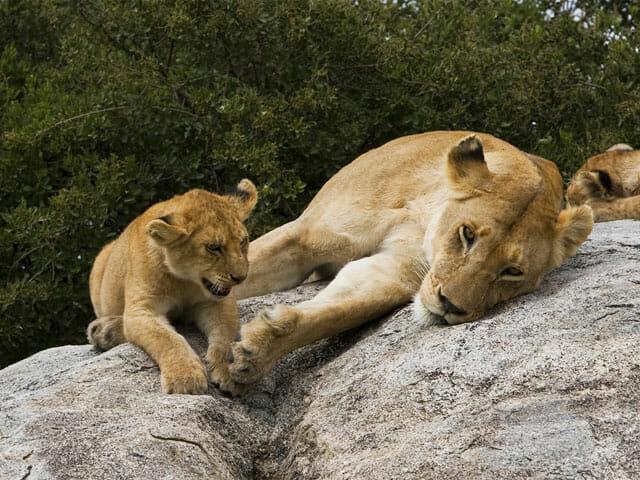 Tansania Löwenfamilie mit Klüger Reisen