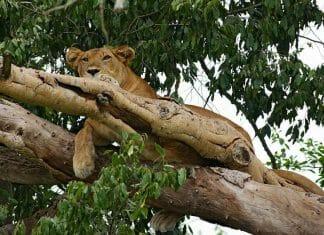 Tanzânia árvore escalada leão com Klüger Viajar