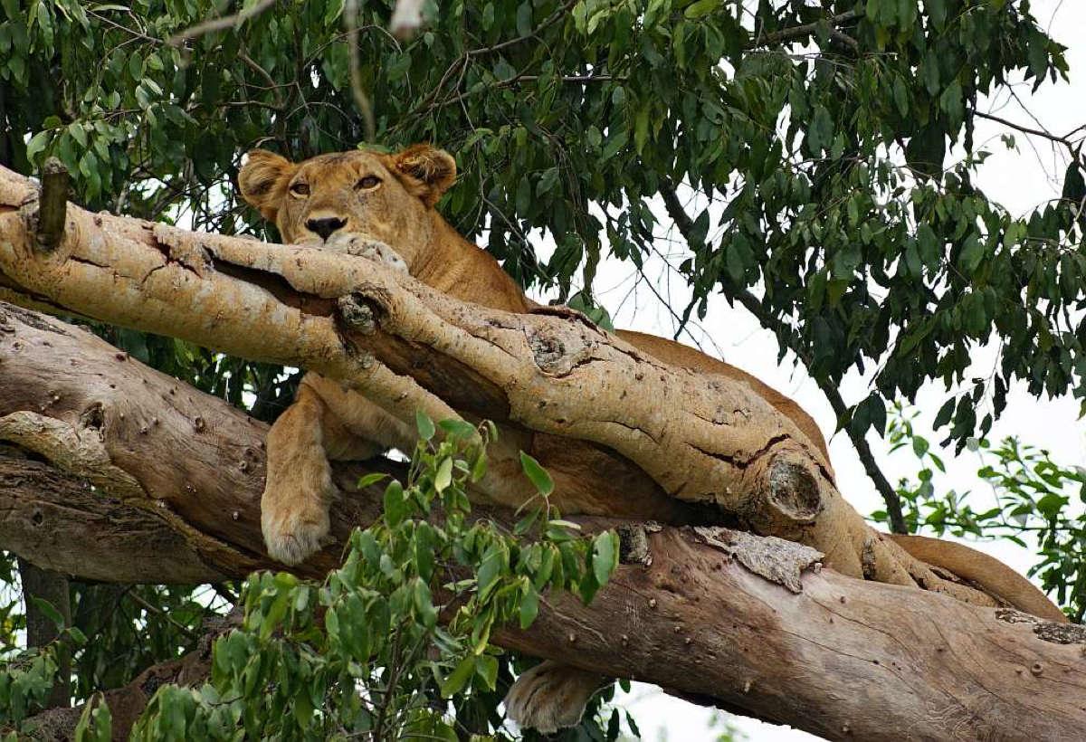 Tansania baumkletternde Löwen mit Klüger Reisen