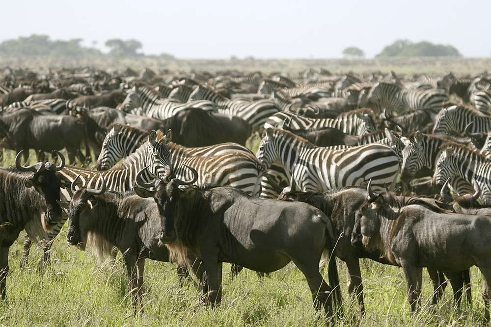 "Tansania: Privatsafari ""Ndutu"" zur Migrationszeit Dezember — März 8 Tage / 7 Nächte"