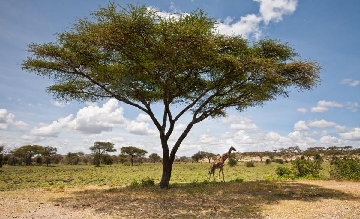 Serengeti Akazie bei Safari mit Klüger Reisen