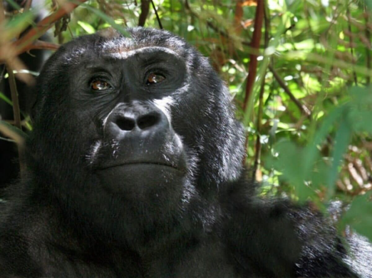 Uganda: Gorilla Trekking 4Tage