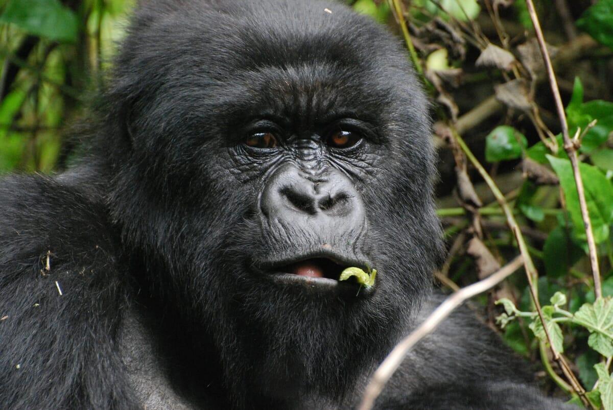 Uganda_Bwindi_Gorilla_Trekking_Klueger_Reisen