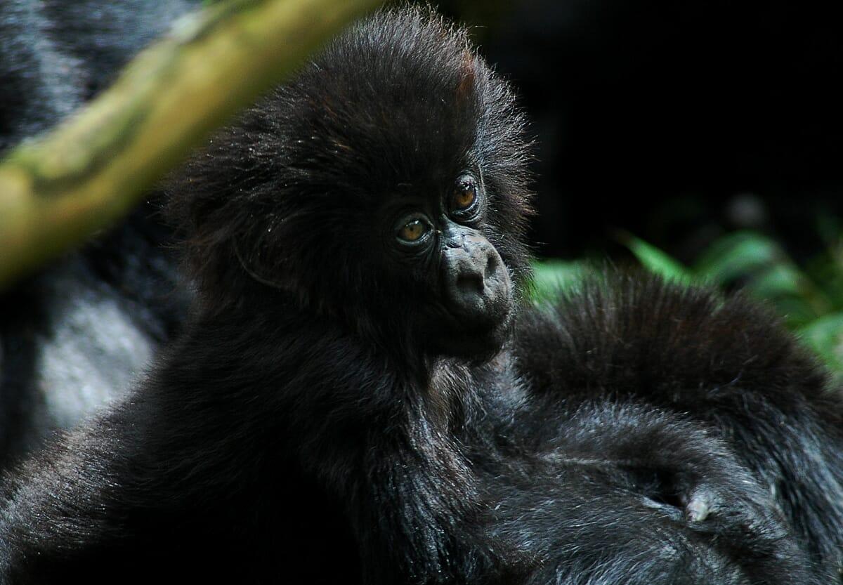 Uganda: Fly Inn Gorilla Trekking 3Tage
