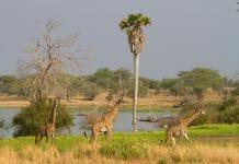 Tansania Giraffen mit Klüger Reisen
