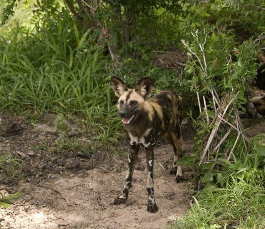 Wildhunde im Seolus mit Klüger Reisen