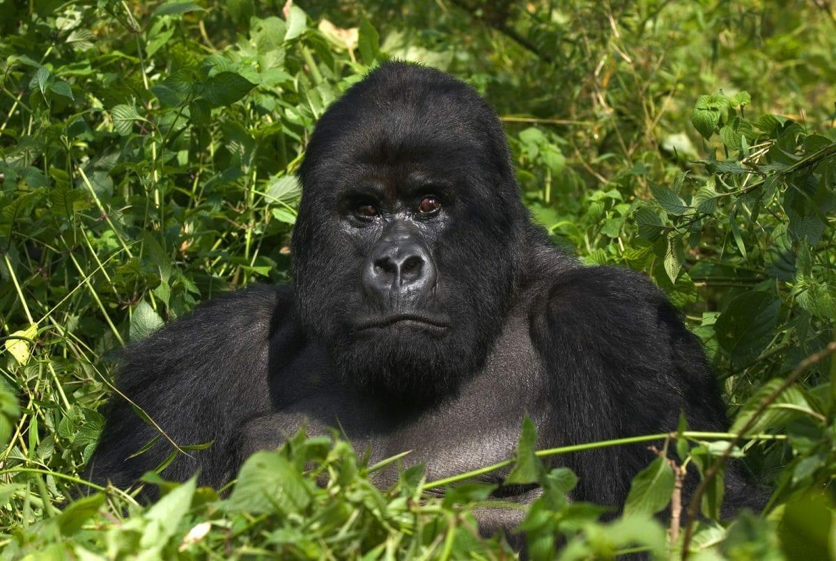 Ruanda: Gorilla Trekking 3Tage