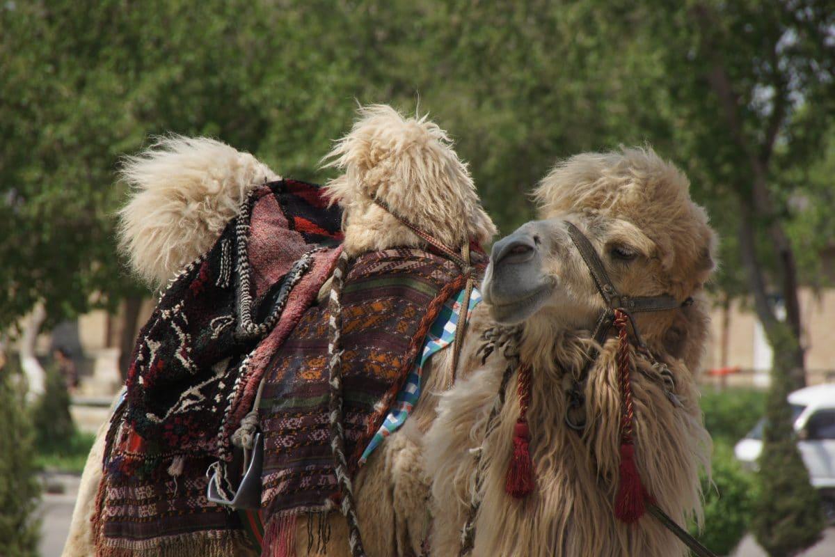Geschmücktes Kamel Buchara, Usbekistan