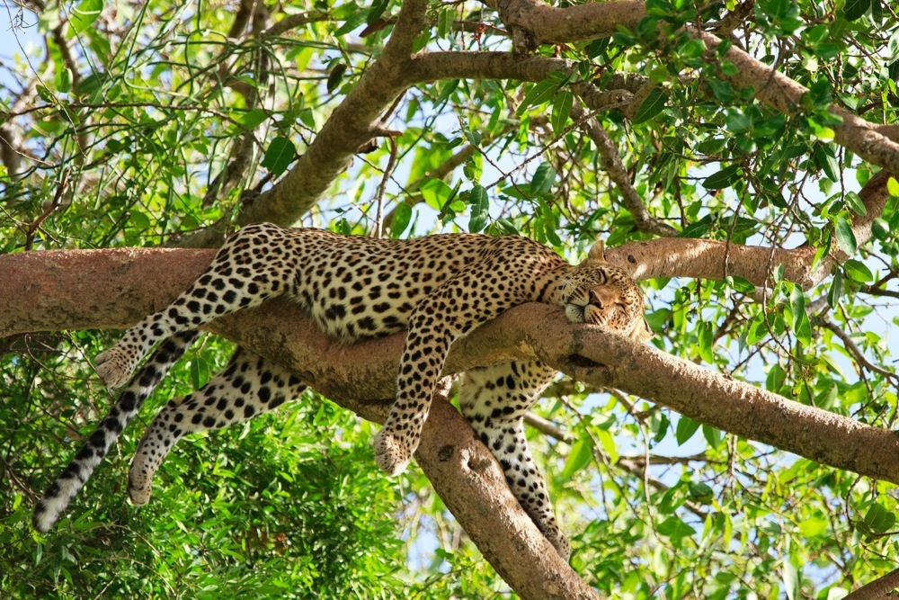 Tansania Leopard
