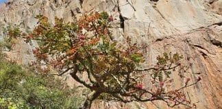 Oman Weihrauchbaum Klüger Reisen