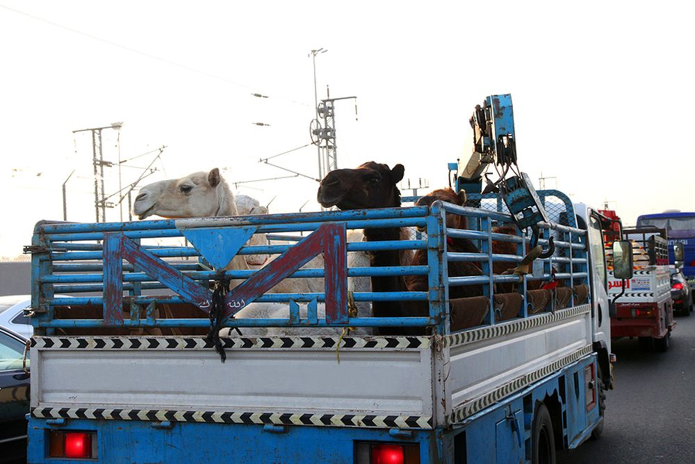 Kameltransport_Saudi_Arabien_Klueger_Reisen